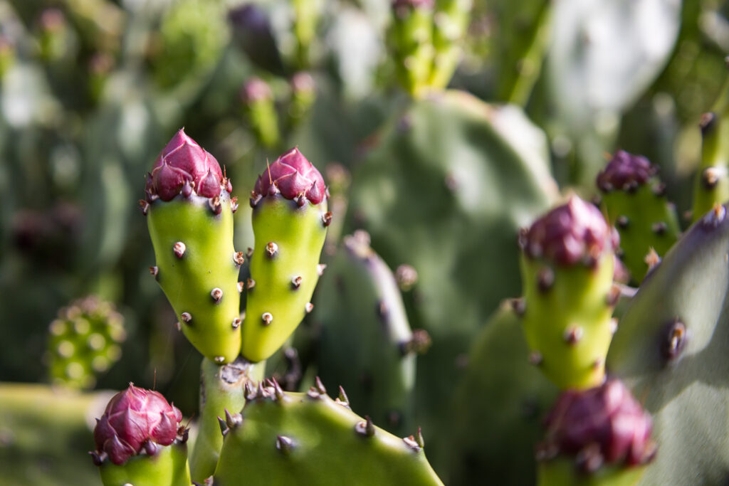 Cactus Cropped at 3:2 Aspect Ratio